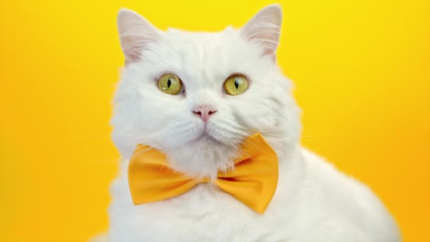 Közeli portré fehér szőrös macska -ban divat napszemüveg. Stúdió felvétel. Luxus hazai cica szemüvegben pózol sárga fal háttér.