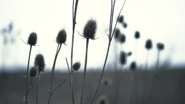 Szárított teáskanna növények, más néven Dipsacus szürke késő őszi háttérrel. Elszáradt virágok ringatóznak a szélben. Lassú mozgás..