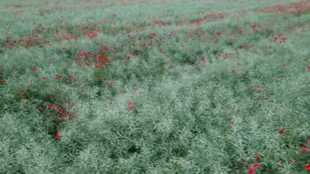 Letecká krajina od dronu - velké pole kvetoucích červených máků. Abstraktní divoké květiny pozadí. Příroda koncept, zemědělství průmysl .