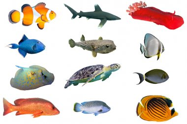 Fish species - index of red sea fish