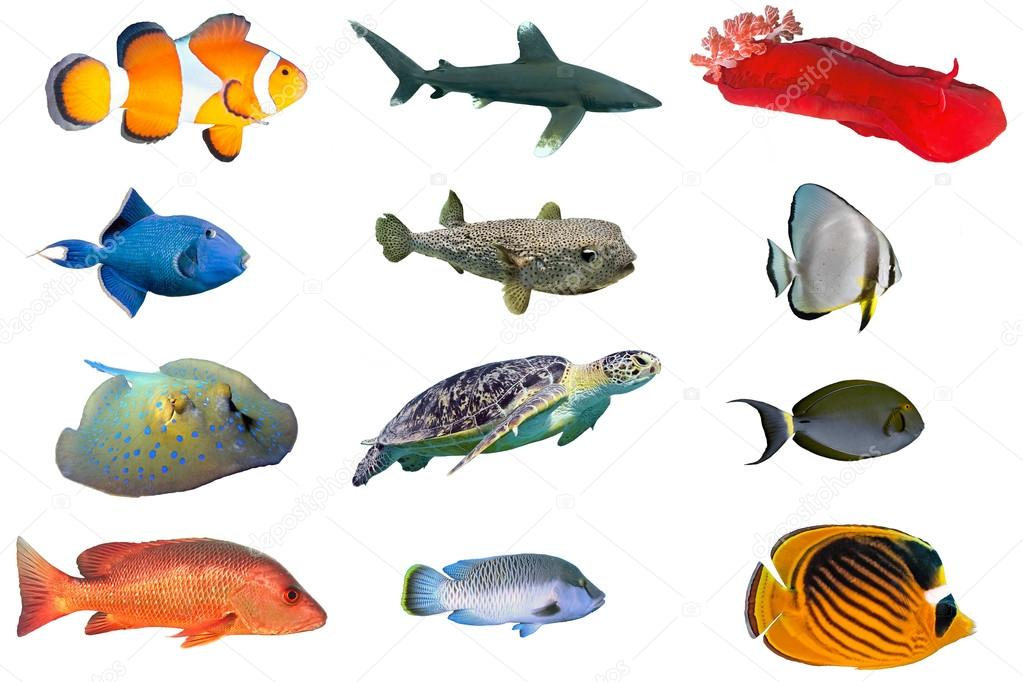 Fish species - index of red sea fish