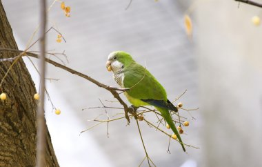Parakeet on the branch of a tree