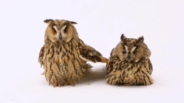 two marsh owl on the white screen
