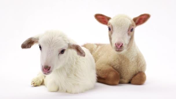 zwei kleine Schafe