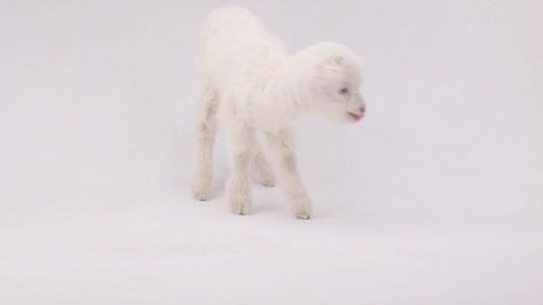 goat kid ( 7 day )