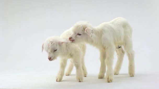two white goat kid