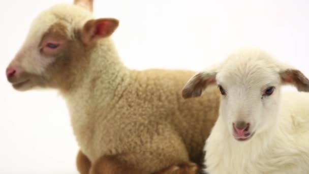 dvě ovečky ovce