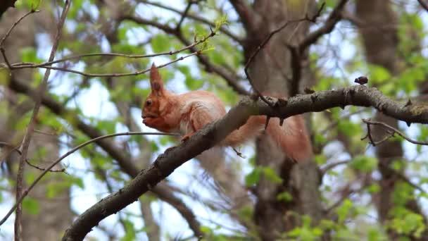 a fa-vadon élő kis mókus