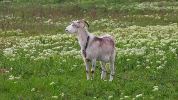 koza na pastvinách