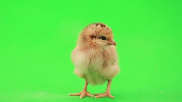 roztomilý malý kuře
