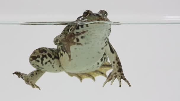 Frosch im Wasser auf einem weißen
