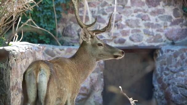 Red deer inklinace hlava