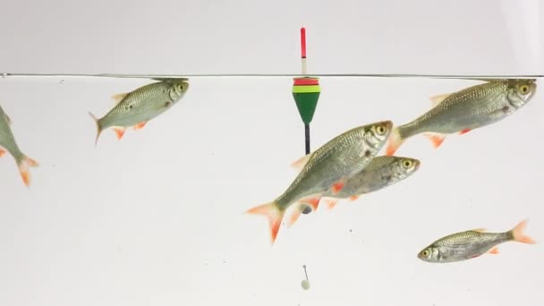 návnada Plovák a háčkem, rudd plave ve vodě na bílé plátno