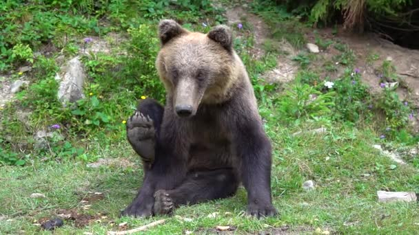 The bear raises and lowers its paw against the background of the forest. slow motion
