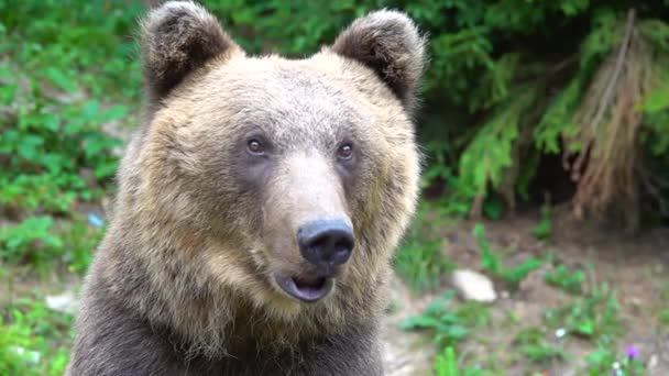 Velký portrét medvěda sledujícího svou kořist. zpomalený pohyb