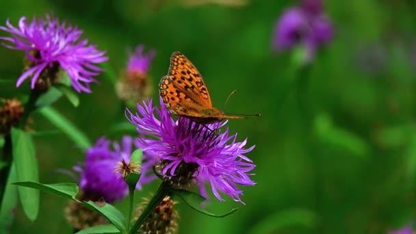 motýl Argynnis paphia sbírá nektar na květu kyanu Centaurea. zpomalený pohyb