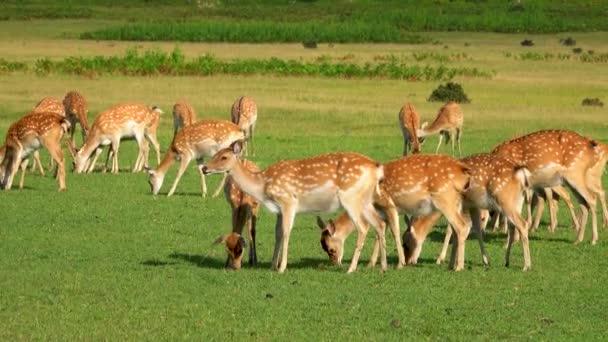 Stádo jelenů na zelené louce v divočině.