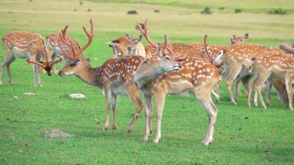 stádo jelenů na divoké louce zpomalený pohyb.