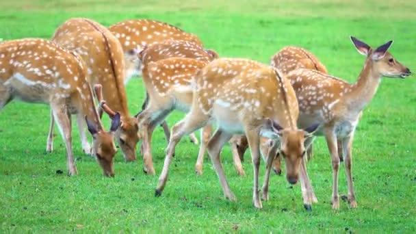 Rehe grasen in freier Wildbahn auf einer grünen Wiese.
