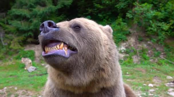 A medve támadásra készül, foggal mutatja az állkapcsát, és készen áll a támadásra. lassított felvétel