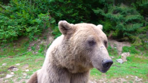 The bear turns its head and looks into the camera in the wild forest. slow motion