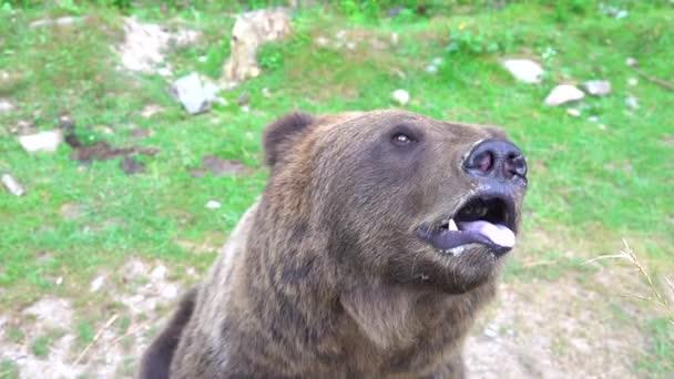 A barna medve kinyitja a száját, és megmutatja a nyelvét a vadonban..