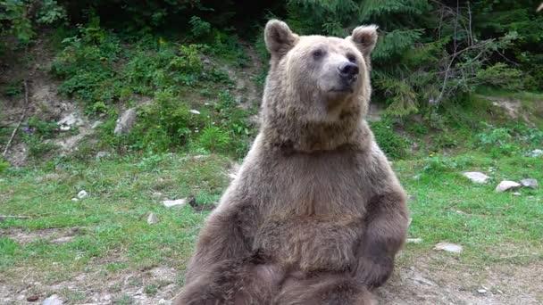 Legrační medvěd na mýtině v lese. zpomalený pohyb