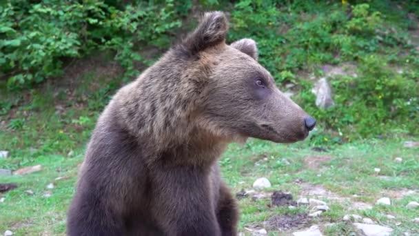 A medve elfordítja a fejét és belenéz a kamerába a vadonban. lassított felvétel