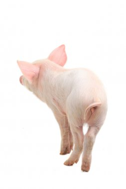 Rear view of pig