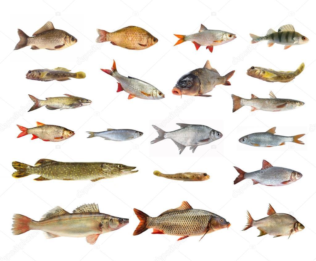 specie di pesci di fiume foto stock bazil 59806921