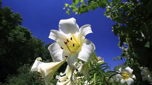 White lilies blowing