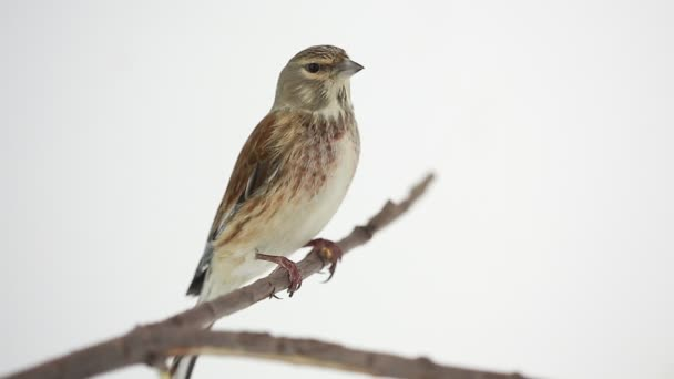 thrush bird on the branch
