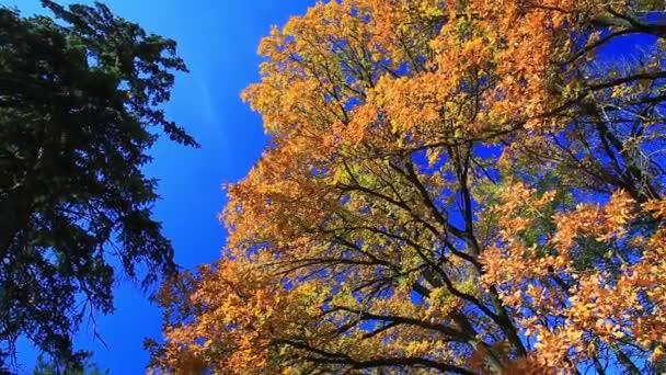 tree oak yellow leaves
