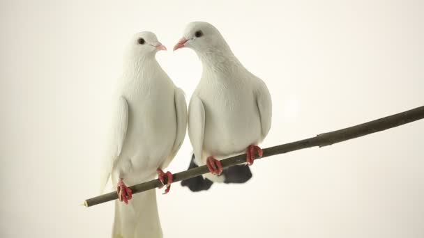 white doves sitting on the branch