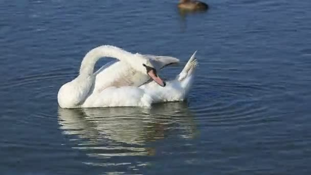 white swan and duck
