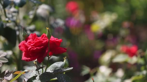 red rose outdoor