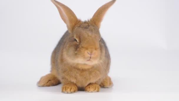 Cute brown rabbit eating