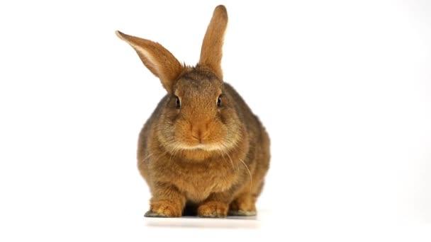 Simpatico coniglio marrone mangiare