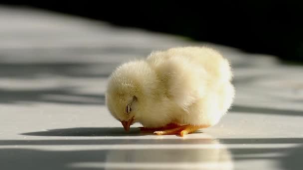 cute small chicken