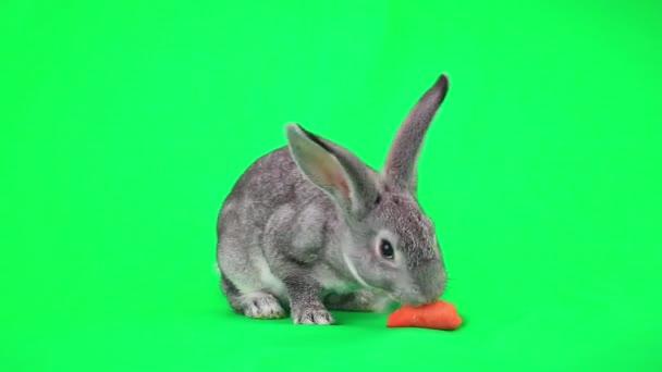 Rabbit eating  carrot