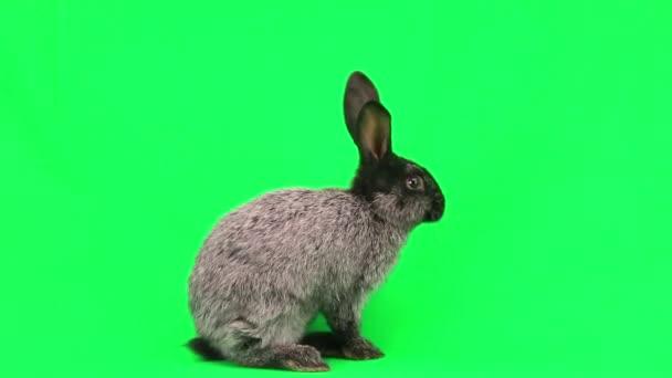 Gray domestic rabbit