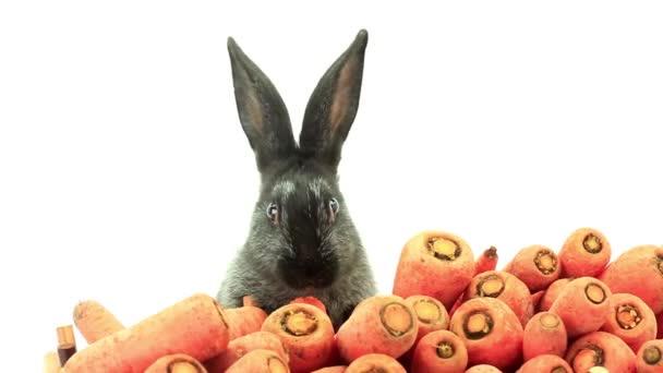 rabbit eats carrots