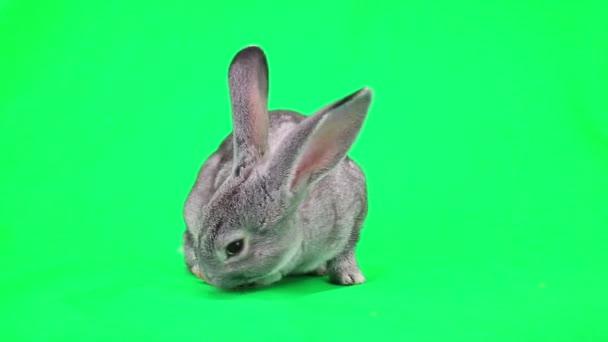 coniglio mangiare carote