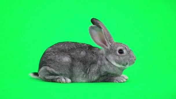 niedliches graues Kaninchen