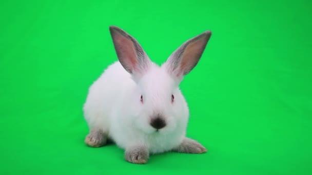niedliche weiße Kaninchen