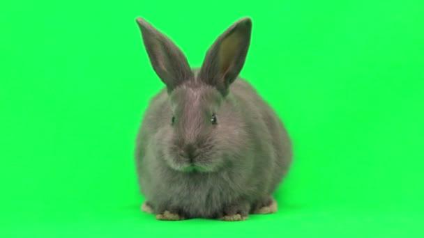 roztomilý králík hnědý