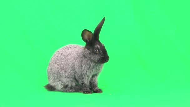 Grigio coniglio domestico