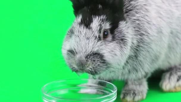 Kaninchen trinkt Wasser
