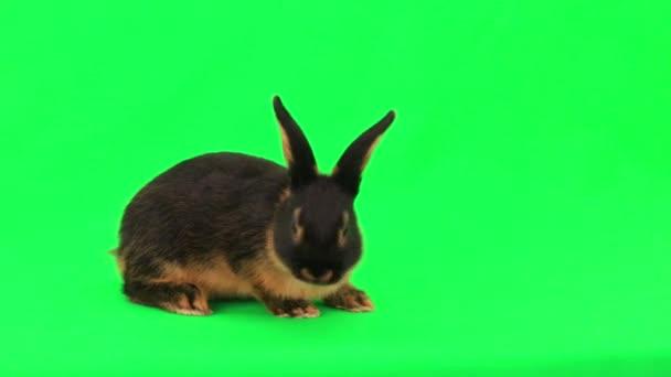Roztomilý nadýchané králík