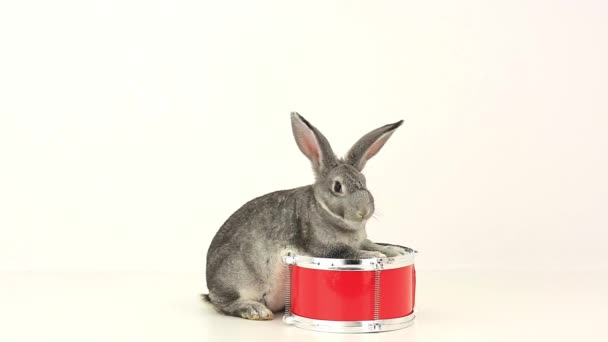 šedý králík na červený buben